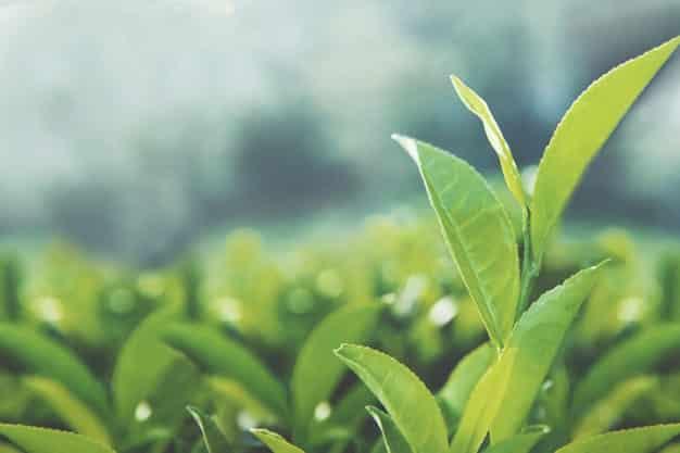 In che modo il tè verde aiuta a perdere peso