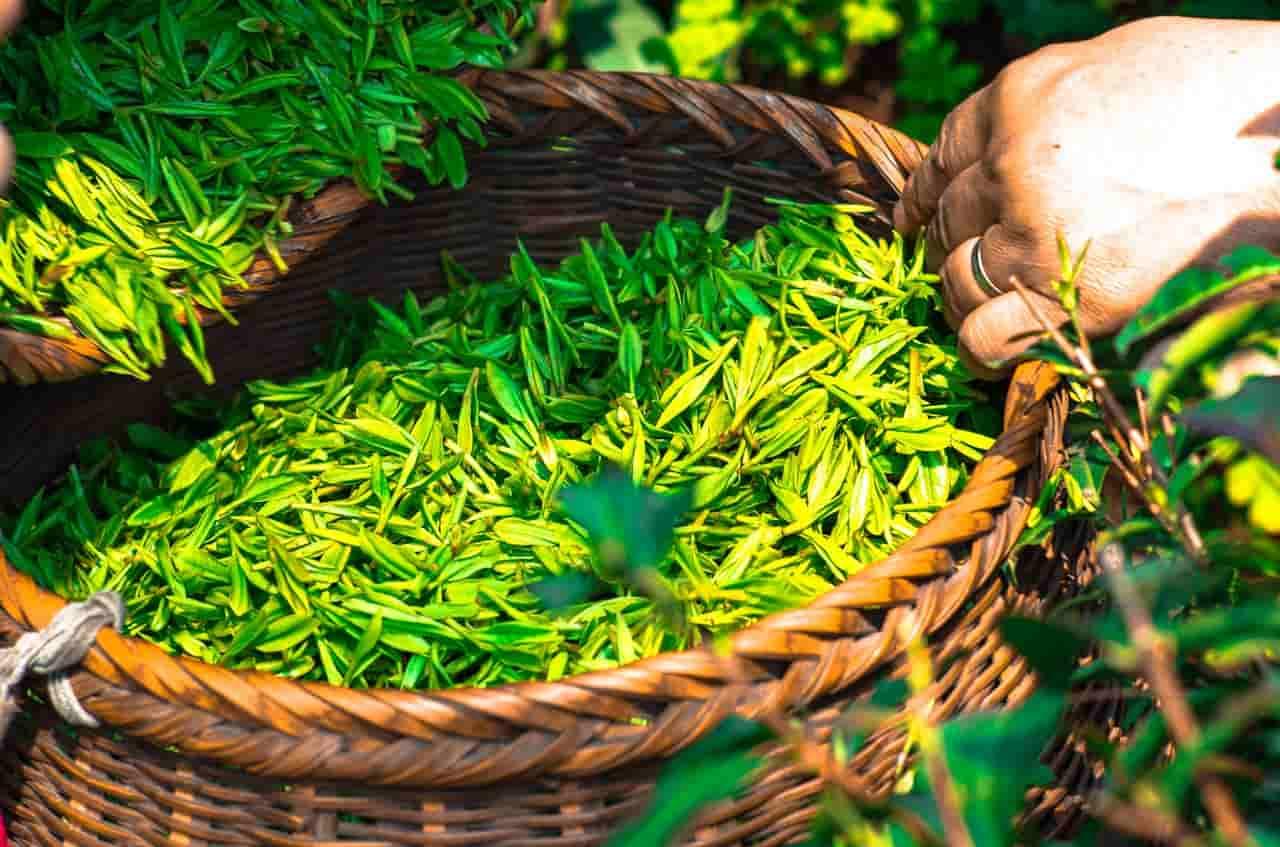 La mia opinione sul tè verde come parte di una dieta per la perdita di peso