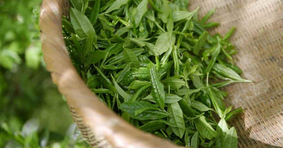 Tè verde un incredibile brucia grassi